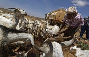 Livestock in Somalia